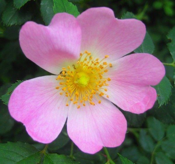 Quelques fleurs du printemps au jardin 06 2015 for Fleurs jardin printemps