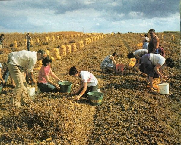 Pommes de terre plantation cuisine conservation - Date plantation pomme de terre ...