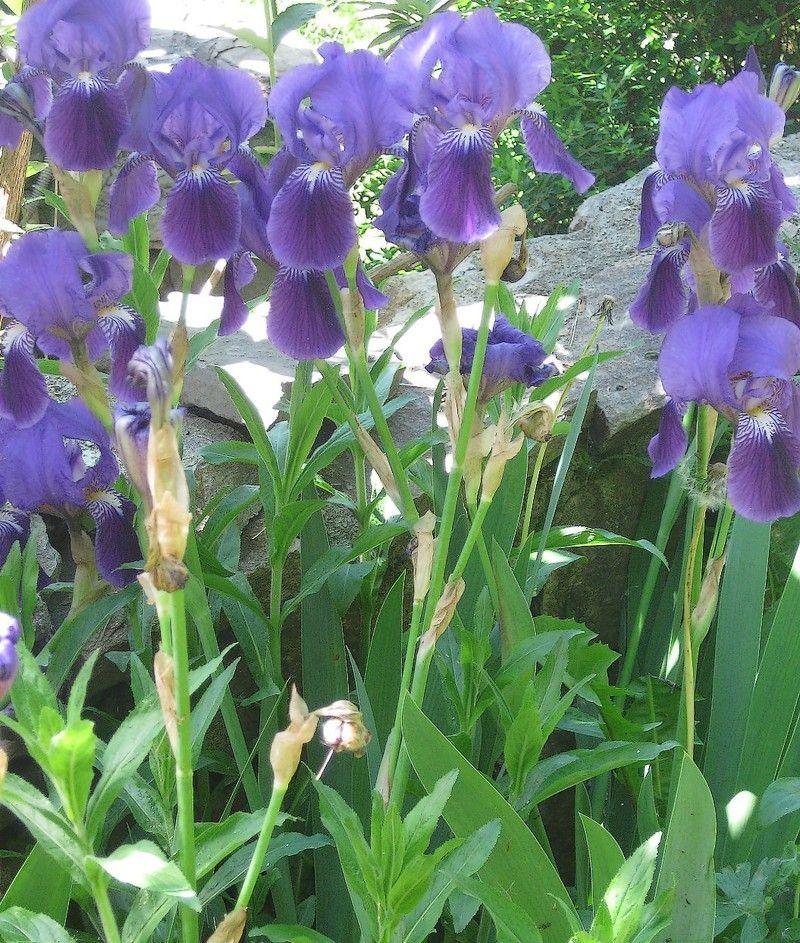 Les iris de mai 2015 - Iris ne fleurissent pas ...