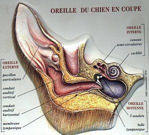 Epillet danger pour nos animaux for Interieur oreille