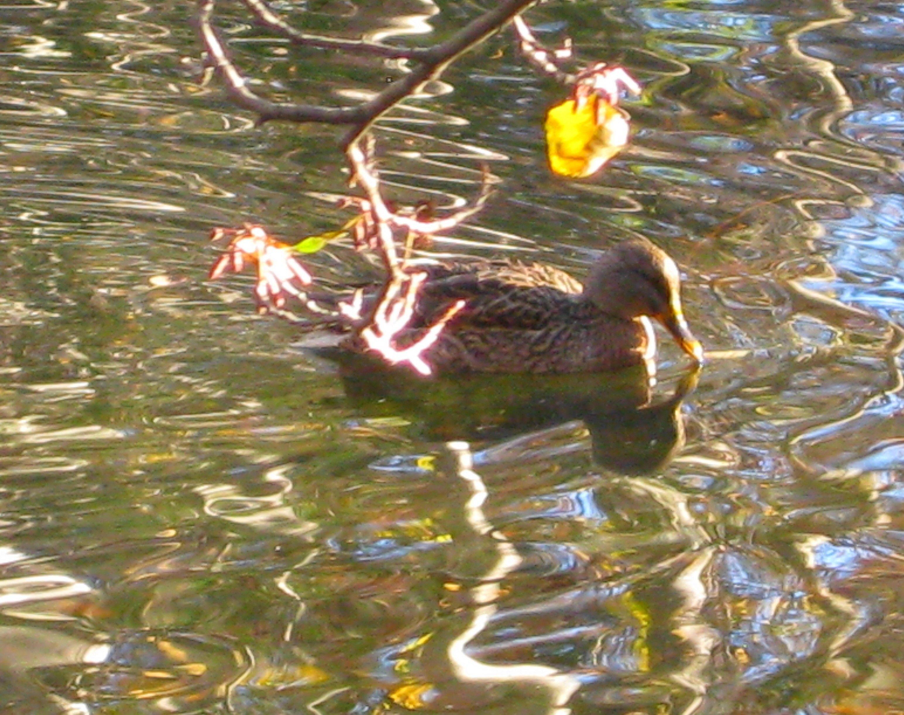 Les canards dans leur d cor d 39 automne - Canard decoration accessoire ...